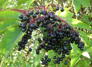 bilki za hemoroidi – cheren baz