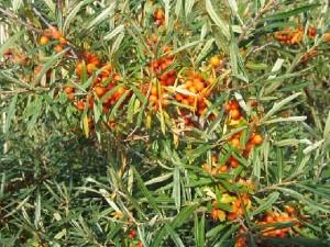 Зърнастец (Rhamnus fnangula) с узрели плодове