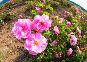 маслодайна роза