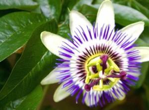Красивата пасифлора е полезна за паническо разстройство