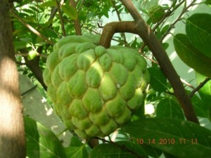 Тропическият плод Custard ябълка притежава антиоксиданти с мощни противоракови свойства