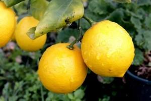 Ароматният бергамот (Citrus bergamia) е питателен цитрусов плод