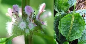Дяволска листа и живовляк се препоръчват с други билки за хипохондрия