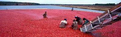 Американска червена боровинка – събиране на реколтата от наводнени площи