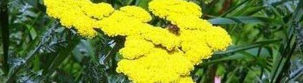 Жълт равнец