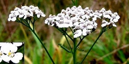 Чудодейният бял равнец – уникален лек за много болести