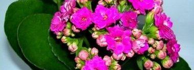 Красивото каланхое е много лековито и се използва и за лечение на псориазис