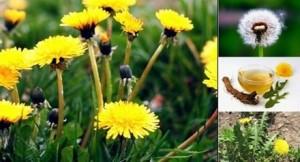 Глухарче – вълшебна билка, която цери атеросклероза, ревматизъм и дори рак