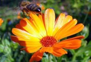 Красивата билка невен е полезен лек за много болести