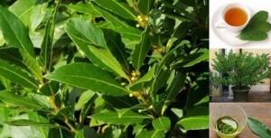 Дафинов лист състав лечебни свойства, приложения и противопоказания
