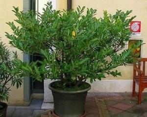 Дафинов лист отглеждане – лаврово дърво в саксия