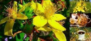 Жълт кантарион – уникална билка с много ползи за здравето