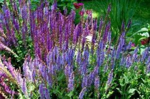 В лековития вид салвия или градински чай - Salvia officinalis, са концентрирани най-голям брой терапевтични етерични масла – около 2%.