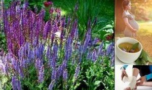 Салвия – вълшебна и невероятно полезна билка за много болести.
