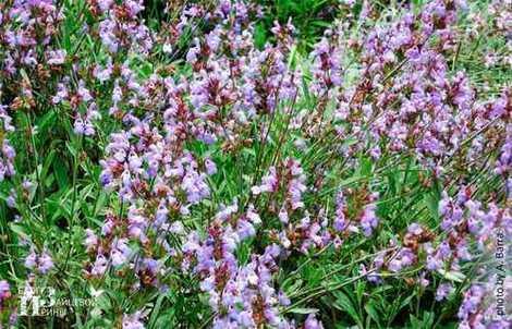 Градински чай салвия лечебни свойства.
