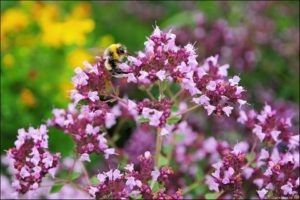Билката риган намира приложение и за лечение на миома с други билки.