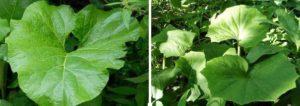На снимката: Вляво листо от репей, вдясно листа от подбел - за ревматоиден артрит.