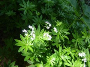 Миризливо еньовче - Galium odoratum.
