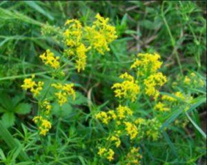 Същинско еньовче - Galium verum. Сн. 1.