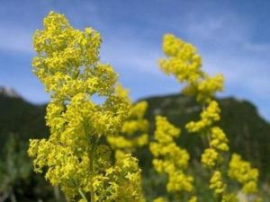 Същинско еньовче - Galium verum. Сн. 3.