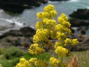 Същинско еньовче - Galium verum. Сн. 2.