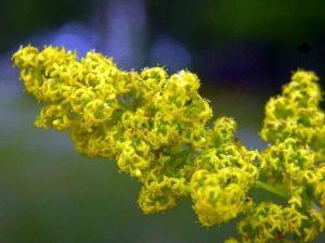 Същинско еньовче - Galium verum. Сн. 4.