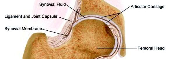 Ацетабуларна ямка - вдлъбнатина на тазовата кост, в която влиза главата на бедрената кост.