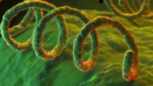 Бактерията Treponema pallidum причинител на сифилис e в основата на пробата на Васерман.
