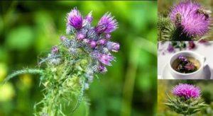 Магарешки бодил – безценен лек за куп болежки