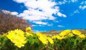 Горицвет: Вълшебната билка срещу тахикардия.