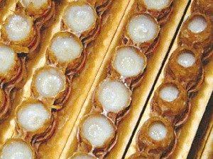 Суперпродуктът пчелно млечице се дава на новоизлюпените пчели през първите три дни от живота им.