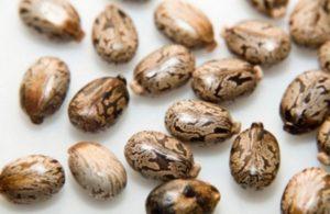 Семена на растението Рицин.