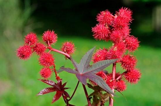 Растението рицин е многогодишно растение, но се отглежда като едногодишно.