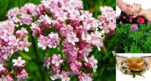 Билката валериана е чудесна за успокоение, против стрес и за много други здравословни проблеми.