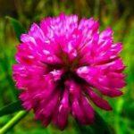 Червена детелина - Trifolium pratense - Red clover.
