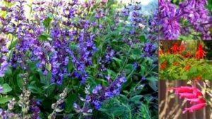 Градински чай – чудодейна билка за столетници и отличен лек.