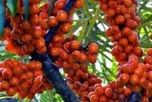 Облепиха - царствено растение, с много витамини и ползи за здравето.