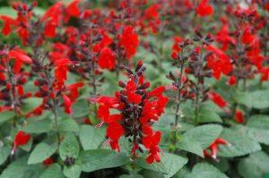 Червена салвия (Salvia coccinea).