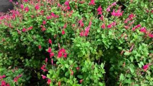 Миртова салвия (Salvia microphylla).