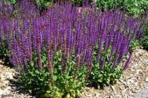 Салвия немороса (Salvia nemorosa) наричан е още и woodland sage - дървесен градински чай.