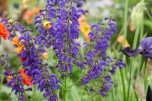 Люляков градински чай (Salvia verticillata).