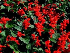 Блестяща салвия (Salvia splendens).