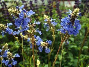 Блатен градински чай – блатна салвия (Salvia uliginosa).
