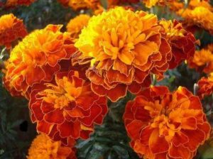 Турта - Tagates patula - African Marigold или French marigold