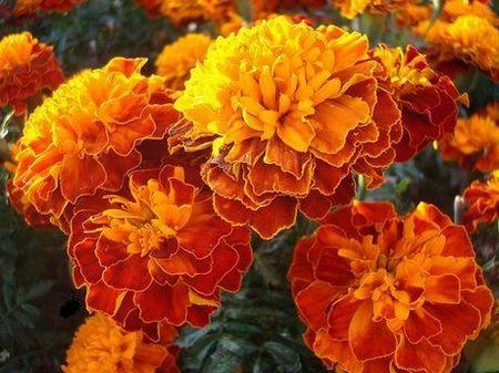 Турта - Tagates patula - African Marigold