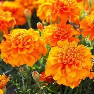 Турта - Tagetes patula - French marigold