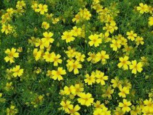 Турта – жълта теснолиста - Tagetes tenuifolia yellow