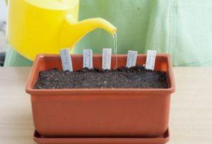 Поддържайте почвата постоянно влажна.