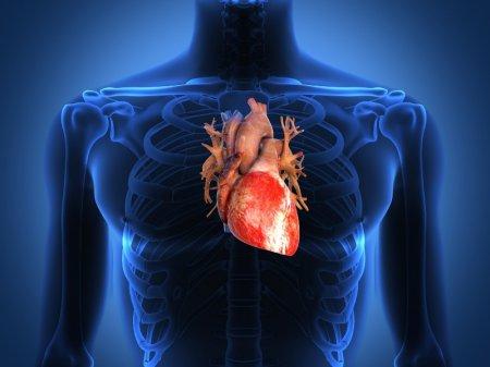 Горският глог намира приложение при сърдечносъдови заболявания.