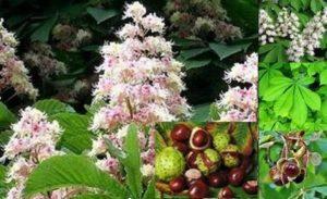 Дивият конски кестен е превъзходна билка за разширени вени, болки в ставите и за други болести.